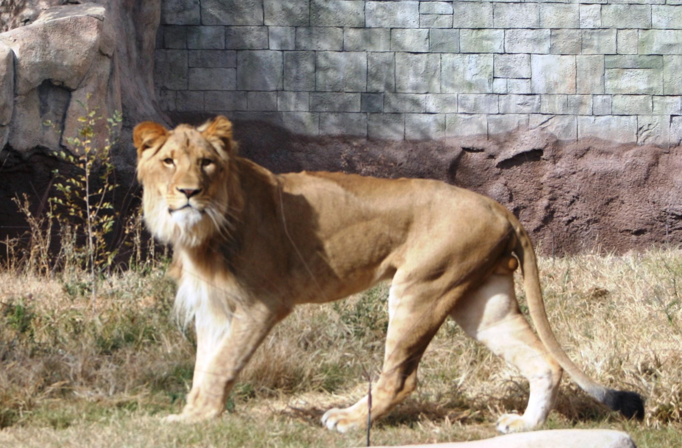 Rudo_Zoo Lion_1456164672204.JPG