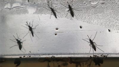 Zika-mosquitos-jpg_20160813024204-159532