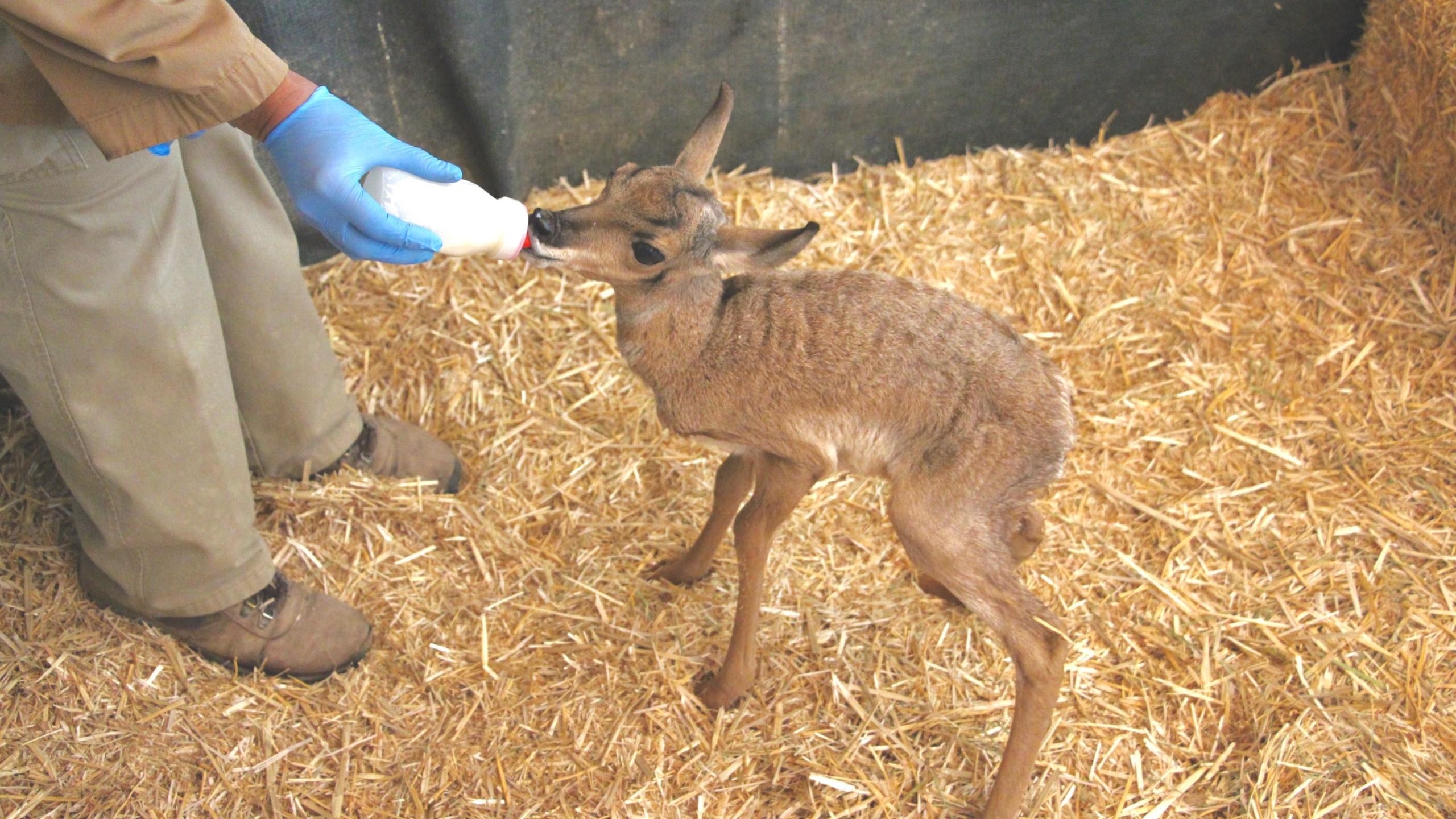 Baby Pronghorn (1)_1491491765502.jpg