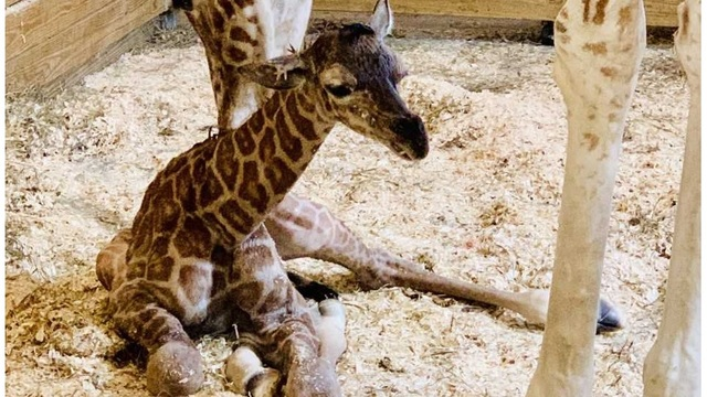 april giraffe baby_1552762805929.jpg_77736826_ver1.0_640_360_1552773632868.jpg.jpg