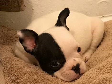 Stolen French bulldog puppy