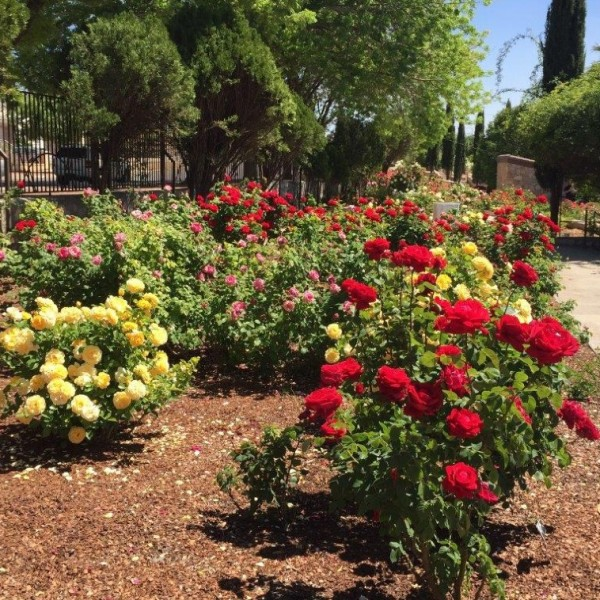 Rows of roses can be seen in bloom at the El Paso Municipal Rose Garden, with yellow, orange and red roses.