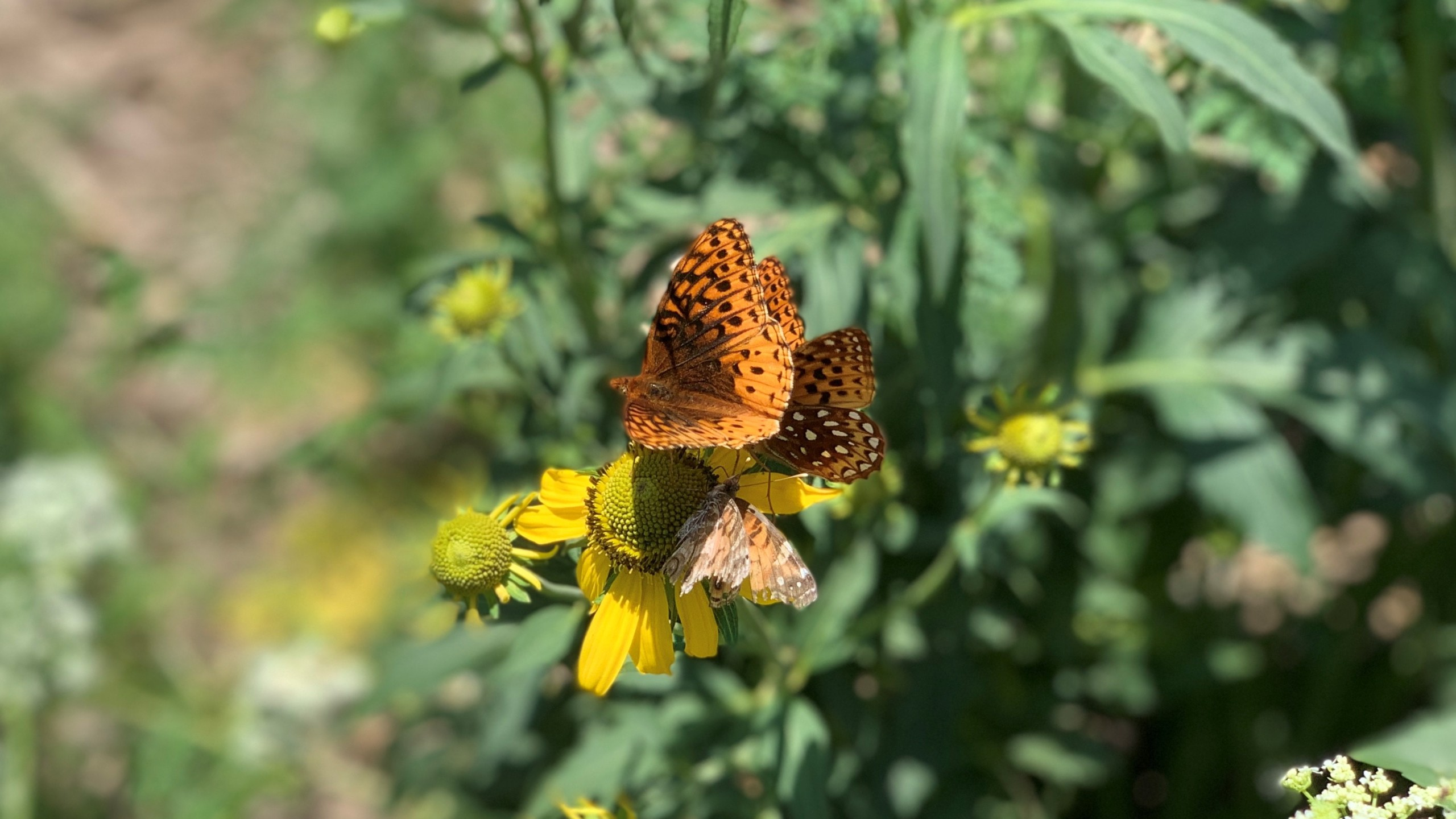 An orange and black butterfly rests on a yellow flower.