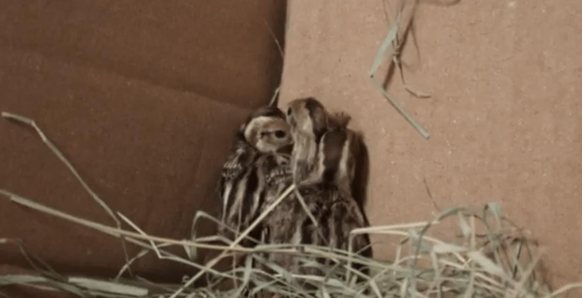 Gambit Quail babies (Courtesy: El Paso Zoo)